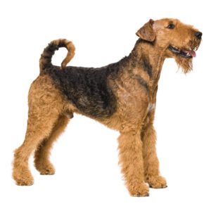 Airdale Terrier Products