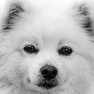 American Eskimo Dog Shop