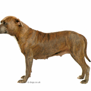 American Staffordshire Terrier Books