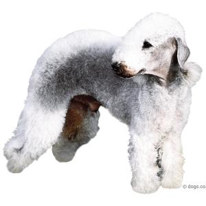 Bedlington Terrier Books
