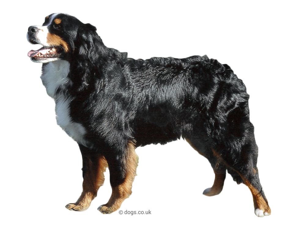 Bernese_Mountain_Dog