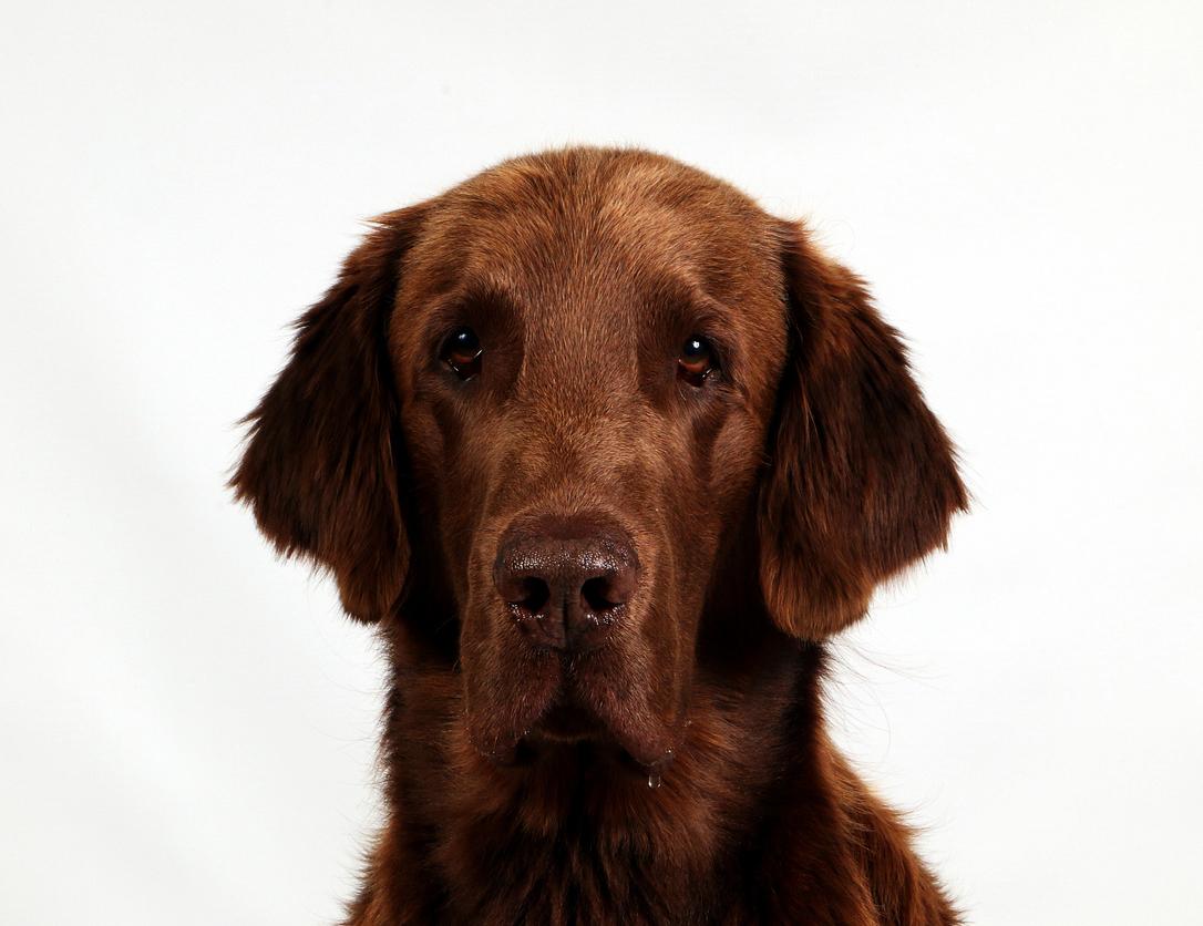 beautiful brown flat coated retriever head portrait in the studio