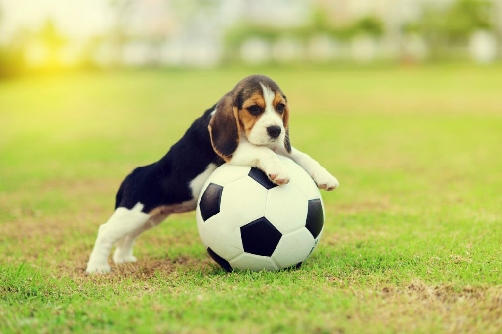 Puppy Football Live Stream Set to Help With World Cup Stress