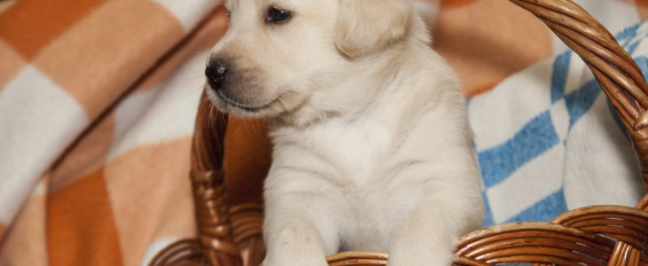 Puppy guides